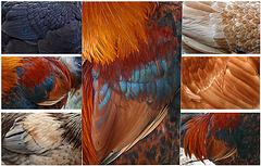 les plumes de l'Indien...