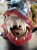 Grouper fish and its teeth