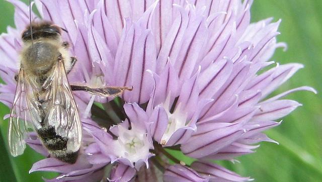 Biene auf Schnittlauchblüte - Detail