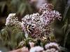 Ecaille chinée sur Eupatoire-Euplagia quadripunctaria