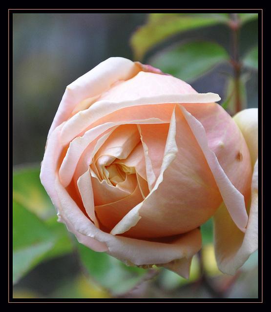 Dernière rose du jardin...