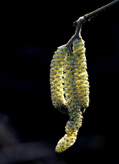 Fleur du mâle