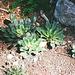 plants de Lewisias - le feuillage