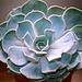 Echeveria lilacina (2)