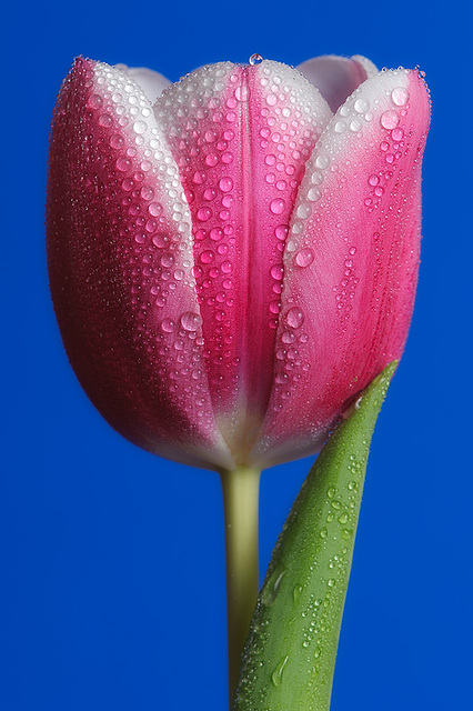 Oh no! More Tulips! 2