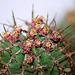 Euphorbia horrida fleurs