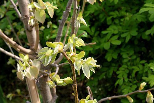Tilia henryana - jeunes feuilles - Tilleul de Henry