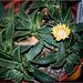 Nananthus transvaalensis (2)