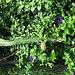 Cereus cactus..
