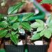 semis Passiflora edulis et incarnata à 1 mois