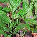 Plants edulis de 2 mois