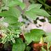 Plant incarnata de 2 mois ( Cortejuan)
