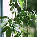 Passiflora sjana et murucuja