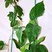 Passiflora Decaisnea et vitifolia