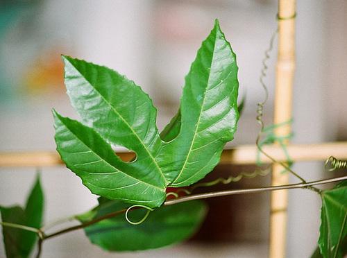 Passiflora edulis (2)