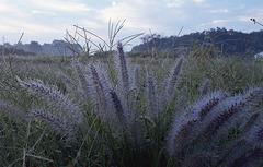 Dwarf fountain grass_2