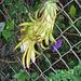 Night Blooming Cereus... not open ...IMG_3753