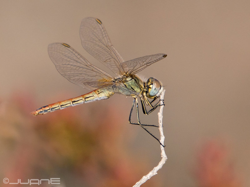 Sympetrum fonscolombii (Selys, 1840)♀