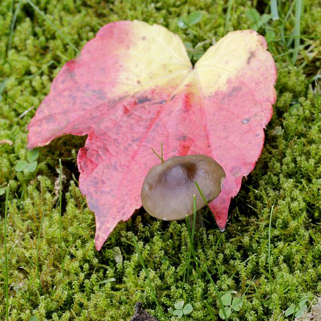Griffe d'automne