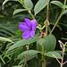 20110206 9669RAw [D~E] Prinzessinenblume (Tibouchina urvilleana), [Samtveilchen] [Schöne Brasilianerin], Gruga-Park, Essen