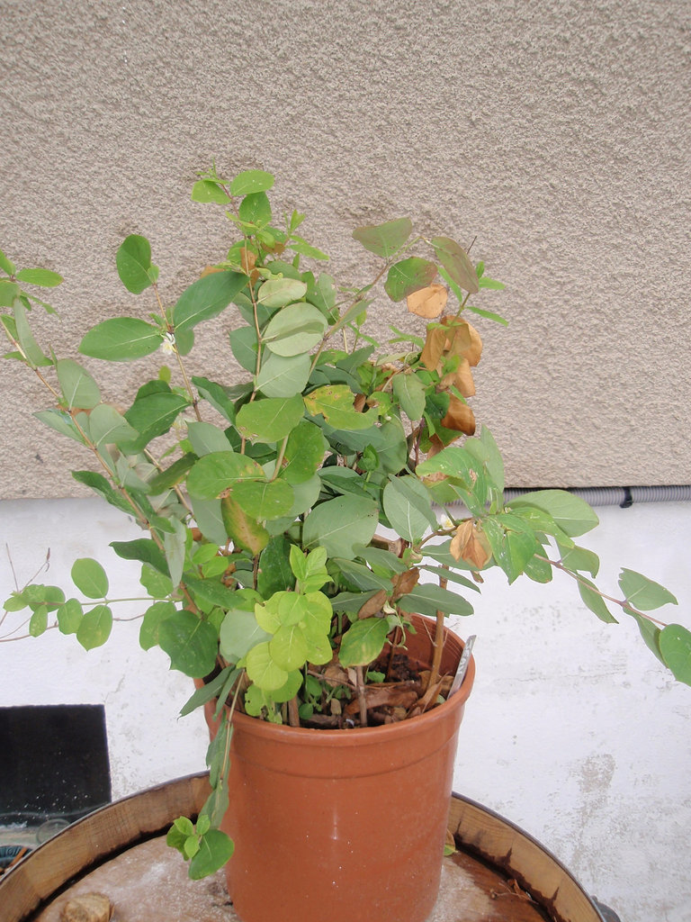 Lonicera fragrantissima  P2060463