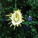 #3751 Night Blooming Cereus..