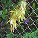 3753 .. Night Blooming Cereus