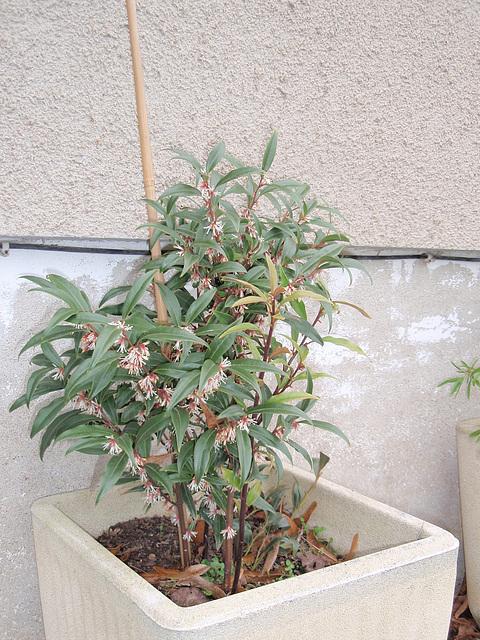 sarcococca hookeriana 'dygyna' P2050443