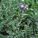 Cirsium arvensis