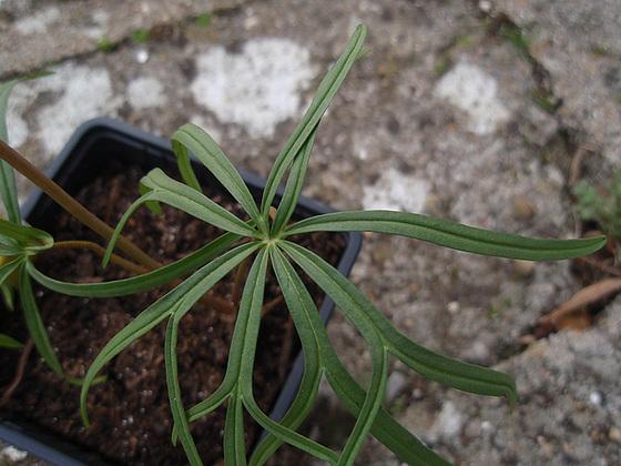 Geranium : espèces et variétés 10310028.670658ce.560