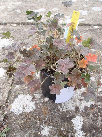 Geranium : espèces et variétés 10310029.f789be49.560
