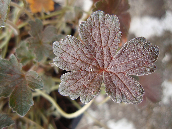 Geranium : espèces et variétés 10310030.c541a51b.560