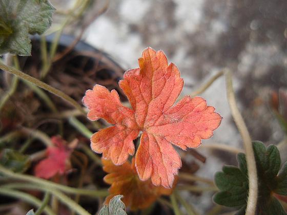Geranium : espèces et variétés 10310031.cb617e39.560