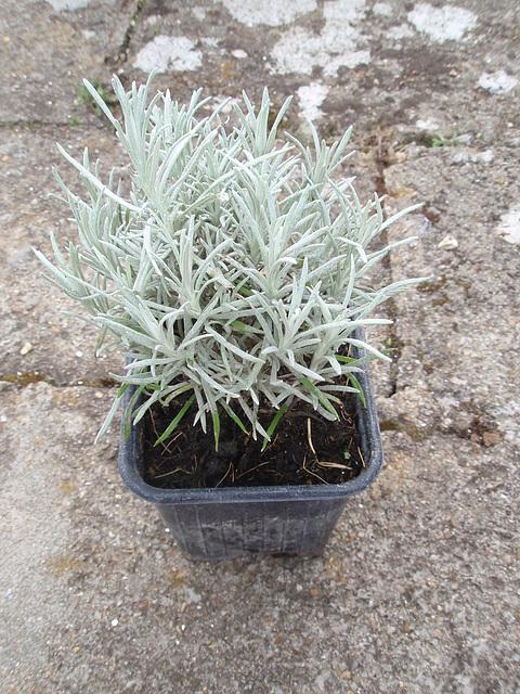 Helichrysum  P4021051