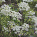 Chaerophyllum temulum- Cerfeuil penché