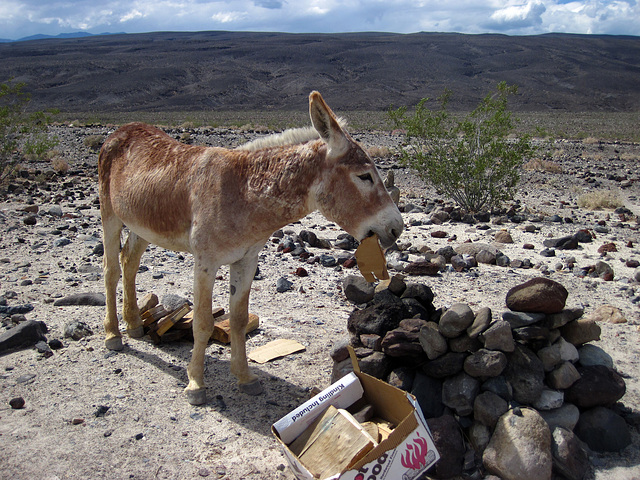 Burro Eating Cardboard (1499)