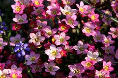 dicht gedrängt - Steinbrechblüten