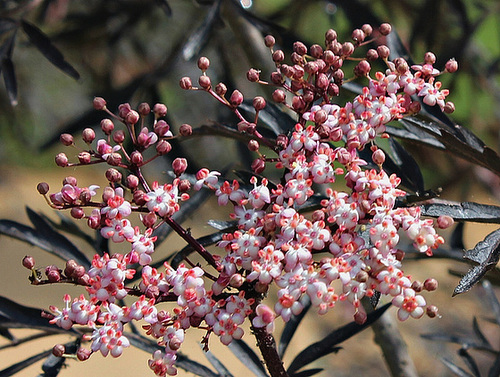 Sambucus nigra purpurea laciniata