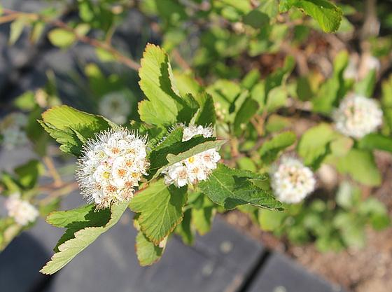 Physocarpus opulifolius 10540231.1959fc04.560