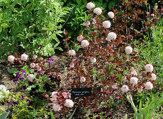 Physocarpus opulifolius 10540233.ac21df2d.560