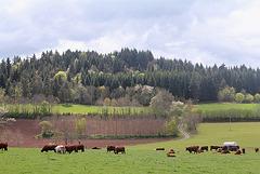 Pâturages - vaches Salers 2