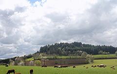 Paysage aux merisiers-vaches - en avril