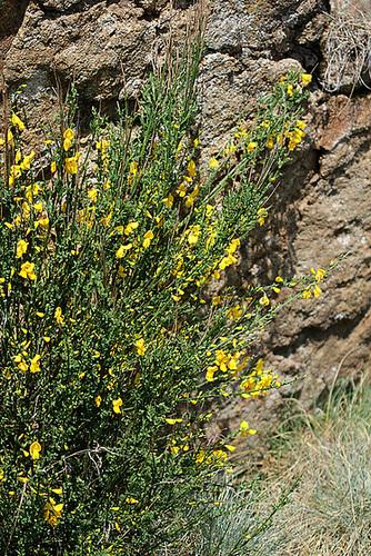 Cytisus scoparius= Sarothamnus scoparius