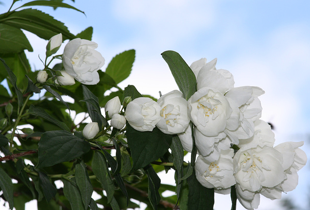 Seringa en fleurs