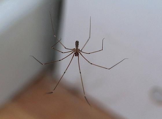 Les 8 pattes araign es et compagnie for Araigne sauteuse maison
