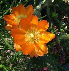Cactus Flower (1787)