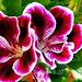 Pelargonium. Todo un despliegue...
