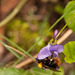 bee on the violet