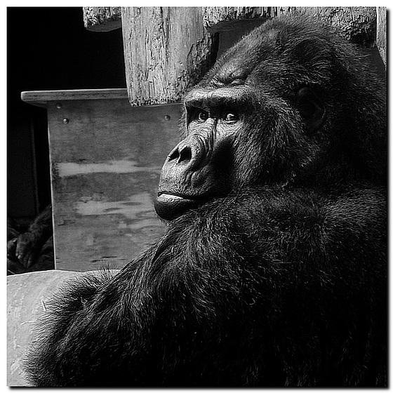 """Flachland-Gorilla """"Massa"""""""
