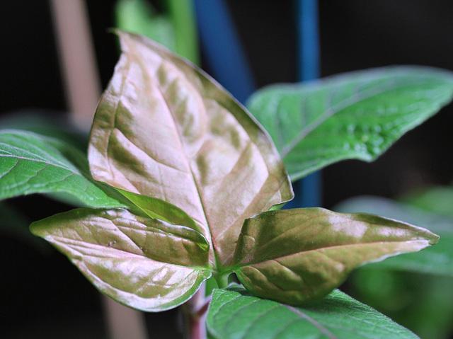 Syngonium rose(feuille